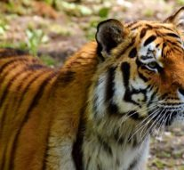 The kings of the Ozarks: National Tiger Sanctuary in need of volunteers